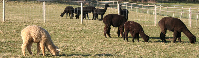 Tai Wind Alpacas
